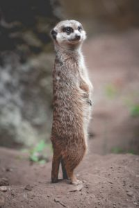 meerkat standing on the ground
