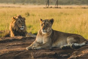 lion and lioness resting on the savannah