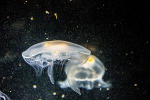 two jellyfish underwater
