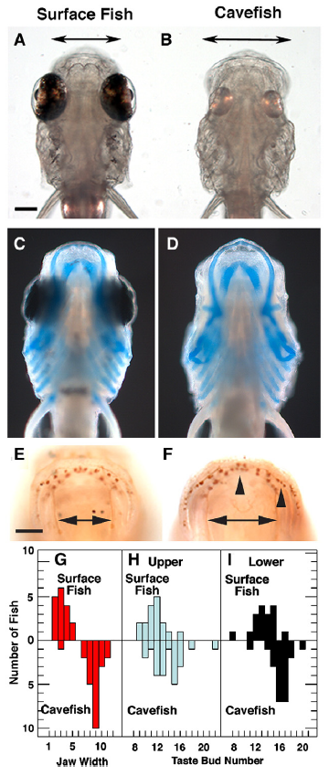 figure 2 from yamamoto et al, showing data on cavefish