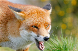 wild fox snarling