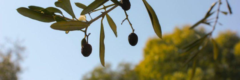 photo of olives on tree