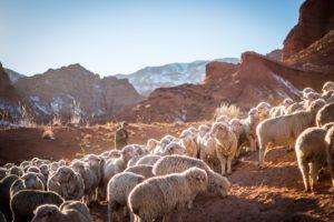 photo of shepherd and sheep
