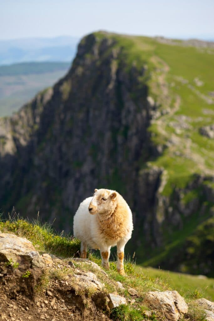 photo of one sheep near cliff