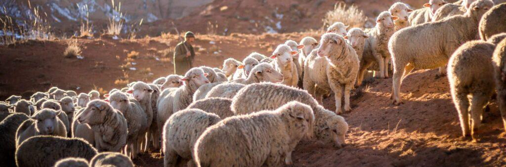shepherd and sheep photo