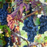 photo of grapes on grapevine