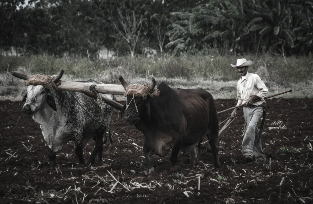 man plowing field with yoked oxen