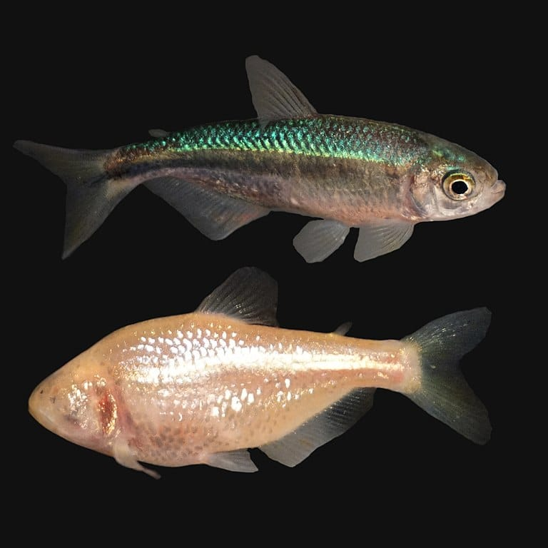 photo of tetra fish and its related Mexican blind cave fish